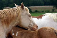Drowsy Horse. Perlino (cream colored) quarter horse broodmare napping with head resting on her paint colt's back, another paint horse in background Royalty Free Stock Images