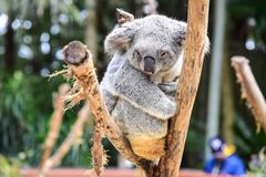 Drowsy Koala Bear on a Tree. In Australia royalty free stock image