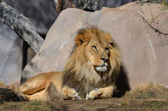 Drowsy Lion Resting Against a Rock in the Warm Sunlight Royalty Free Stock Image