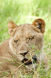 Drowsy Lioness Royalty Free Stock Photo
