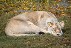 The drowsy lioness at zoo. Beautiful sleeping lioness in natural background. Safari animals. The drowsy lioness at zoo. Beautiful sleeping lioness in natural Royalty Free Stock Photography