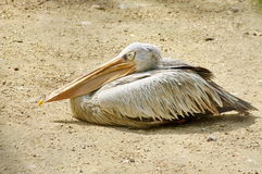 Wild bird. Drowsy pelican. Wild bird. Pelican drowsy by heat, at zoo stock photos