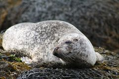 A Drowsy Seal. By the North Seal, Scotland stock photo