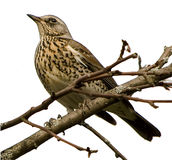 Drozd. The female thrush on a branch isolated on white background for design Stock Images