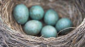 Drozda gniazdeczko z sześć błękitnymi jajkami zamyka w górę wiosny w swobodny ruch zdjęcie wideo
