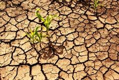 Dürre, Anlagen, die in der trockenen Erde wachsen. Stockfotografie