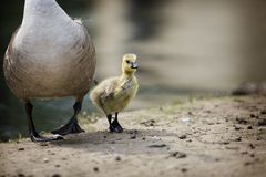BABY GOSLING AND MOTHER GOOSE Royalty Free Stock Photo
