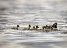 MOTHER GOOSE & GOSLINGS. CANADIAN GEESE & FIVE GOSLINGS ON LAKE Royalty Free Stock Photography
