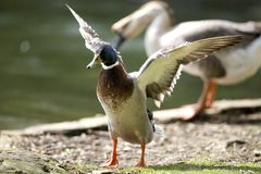 MALLARD DUCK DRYING WINGS. MALE MALLARD WILD DUCK DRING HIS WINGS AND FEATHER Stock Photography