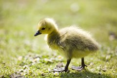 CANADA GOSLINGS CHICK. YELLOW BABY CANADAIAN GOOSE GOSLING Stock Photography