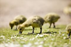CANADA GOSLINGS CHICKS. YELLOW BABY CANADAIAN GOOSE GOSLINGS Royalty Free Stock Photography