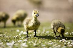 CANADA GOSLINGS CHICKS Stock Photo