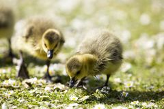 CANADA GOSLINGS CHICKS Royalty Free Stock Photography