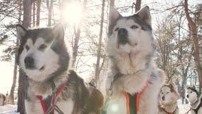 Drużyna husky psy w zima krajobrazie przed rasą zbiory wideo
