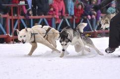 Drużyna sanie psy jest potężna i prędko zaczyna na rasach Fotografia Royalty Free