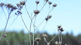 Dru florece las flores de Dru en un fondo de las delanteras metrajes