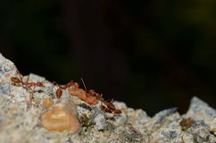 Drużynowa praca - tkacz mrówki Zdjęcia Stock