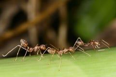 Drużynowe czerwone mrówki Fotografia Royalty Free