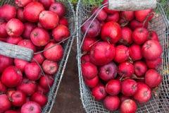 Drucianej siatki metalu kosz z czerwonych smakowitych świeżych soczystych zdrowych jabłek jabłczaną rozmaitością Gloster 69 w ogr zdjęcie royalty free