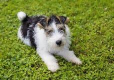 Druciany Fox Terrier szczeniak Zdjęcie Royalty Free