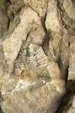 Druck eines Fossils Stockfoto