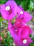 Drucke der Bugamvilia-Blumenhintergrundtapeten-schönen Kunst lizenzfreie stockbilder