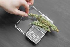 A drug dealer weighs cannabis bud stock photo