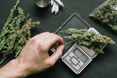 A drug dealer weighs cannabis flower marijuana on a scales concept of legalizing herbs weed. A drug dealer weighs cannabis flower marijuana on a scales concept Stock Photos