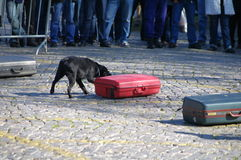 Drug detection dog. Sniffer dog searching baggage for drugs Stock Photos