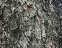 Drugorzędna skóra drzewo, Charmchuri, Chulalongkorn univer Zdjęcie Royalty Free