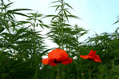 Drugs exist in nature. Hemp and opium poppy growing together stock photo