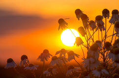 Drugstore daisies at sunset. Royalty Free Stock Images