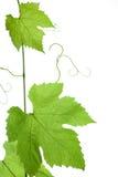 Druif-bladeren Stock Afbeeldingen