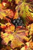 Druif die voor wijnbereiding wordt geoogst Royalty-vrije Stock Afbeelding