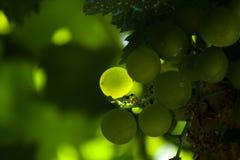 Druif door de zon wordt door een bos van druiven van een wijnstok wordt omringd verlicht die royalty-vrije stock foto's