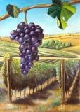 Druif en wijngaard Stock Foto