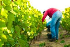 Druif het oogsten, Frankrijk Stock Foto