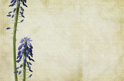 Druif-hyacint Bloemen Royalty-vrije Stock Foto