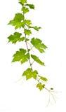 Druif Ivy Plants Royalty-vrije Stock Foto's