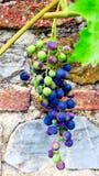 Druif met bessen van een rode druivenverscheidenheid voor een steenmuur stock foto's
