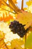 Druif op een wijnstok Stock Foto's