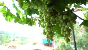 Druif op Wijngaardgebied stock video