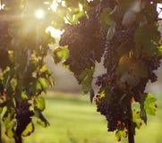 Druif op wijnstok Royalty-vrije Stock Foto