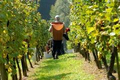 Druif-plukker, carriers in wijngaard Royalty-vrije Stock Foto's
