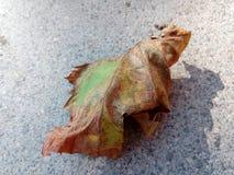 Druif treeleaf Stock Foto