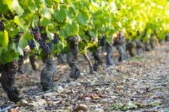 Druif van wijnstok in wijngaarden van Beaujolais Royalty-vrije Stock Afbeeldingen