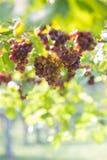 Druif, wijngaard stock foto