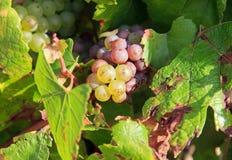 Druif, wijngaard van de hellingen van Chablis stock foto