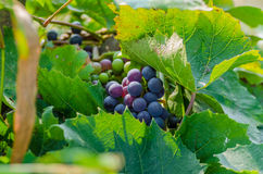 Druif, wijnstok, heerlijke bes, zoet, oogst, landbouw, de herfst Stock Foto's