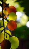 Druiven; royalty-vrije stock foto